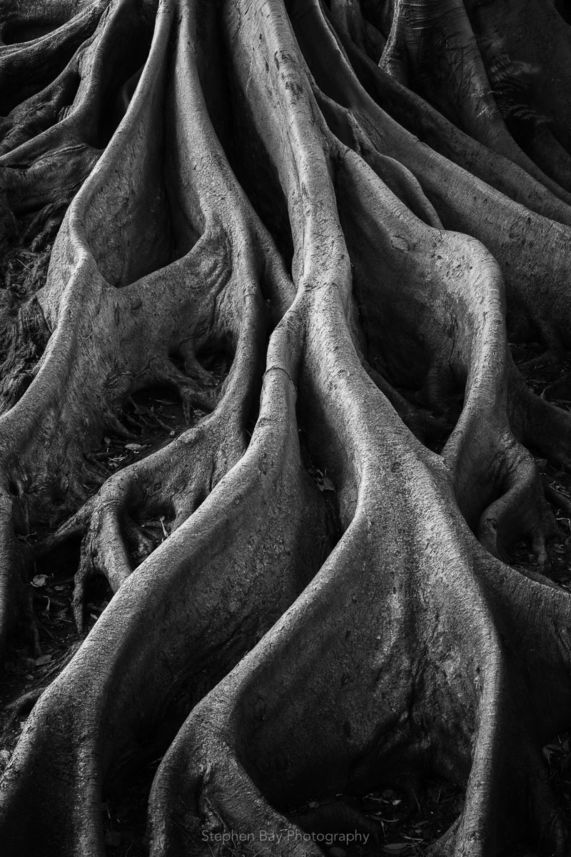 A black and white photograph of Banyan tree roots.