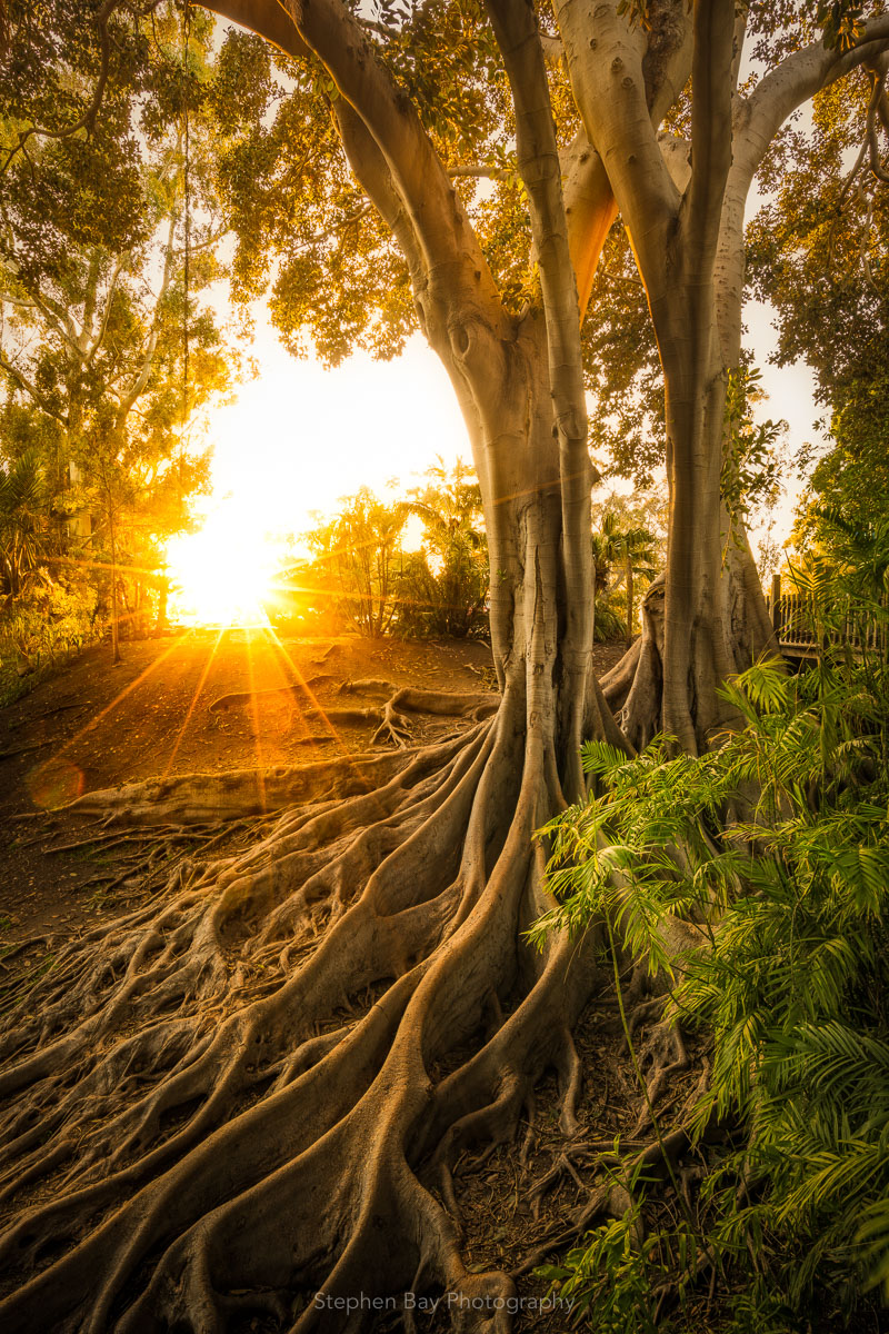 Banyan trees (aka Moreton bay fig trees) in Balboa Park. The photo is near sunset and light is streaming into the scene from the sun. The giant roots of the trees and the canopy cradles the sun.