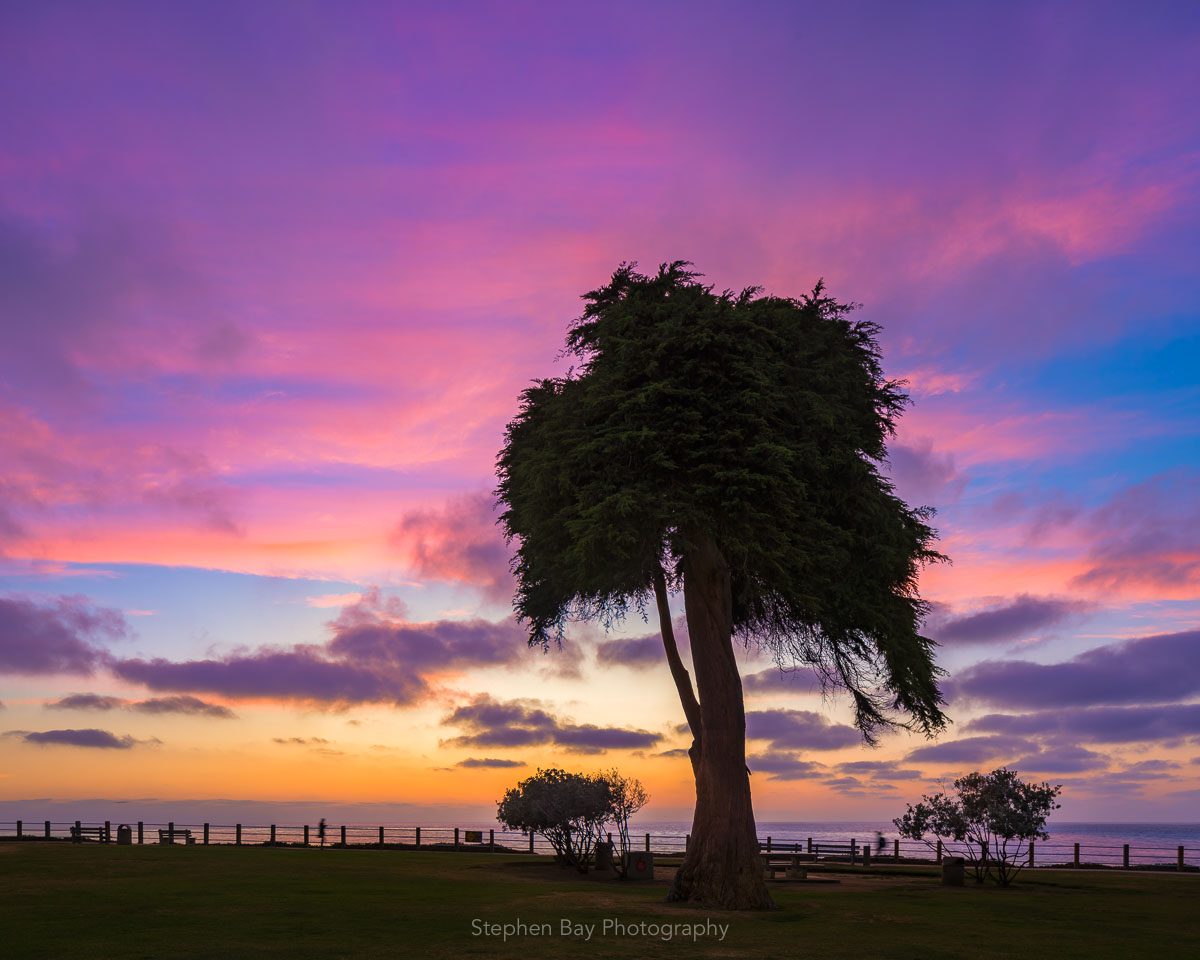 A monterey cypress tree in Ellen Browning Scripps Park. This tree is known as the Truffula tree or the Lorax Tree and is though to be the inspiration for Dr Seuss. The photo is taken at sunset and shows the tree set against a colorful pink and magenta sky.