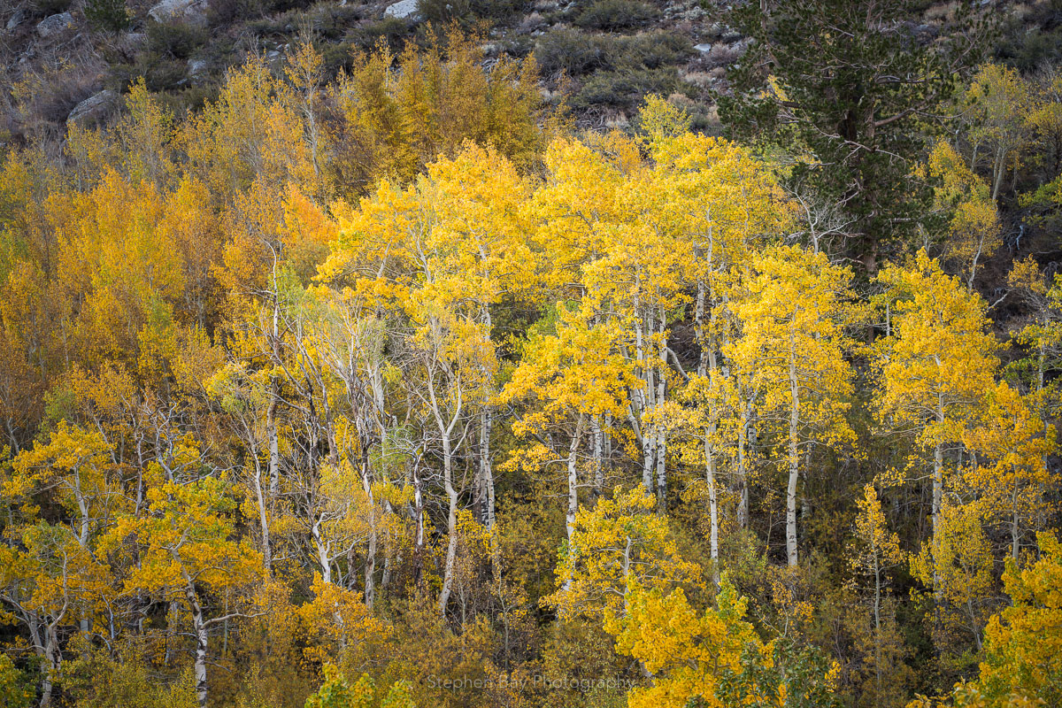 A stand of aspen trees in McGee Creek Canyon. The trees are against the canyon walls and the leaves are a colorful yellow.