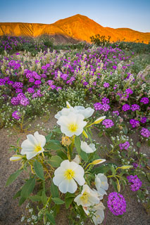 Blooming Wildflowers in Anza Borrego