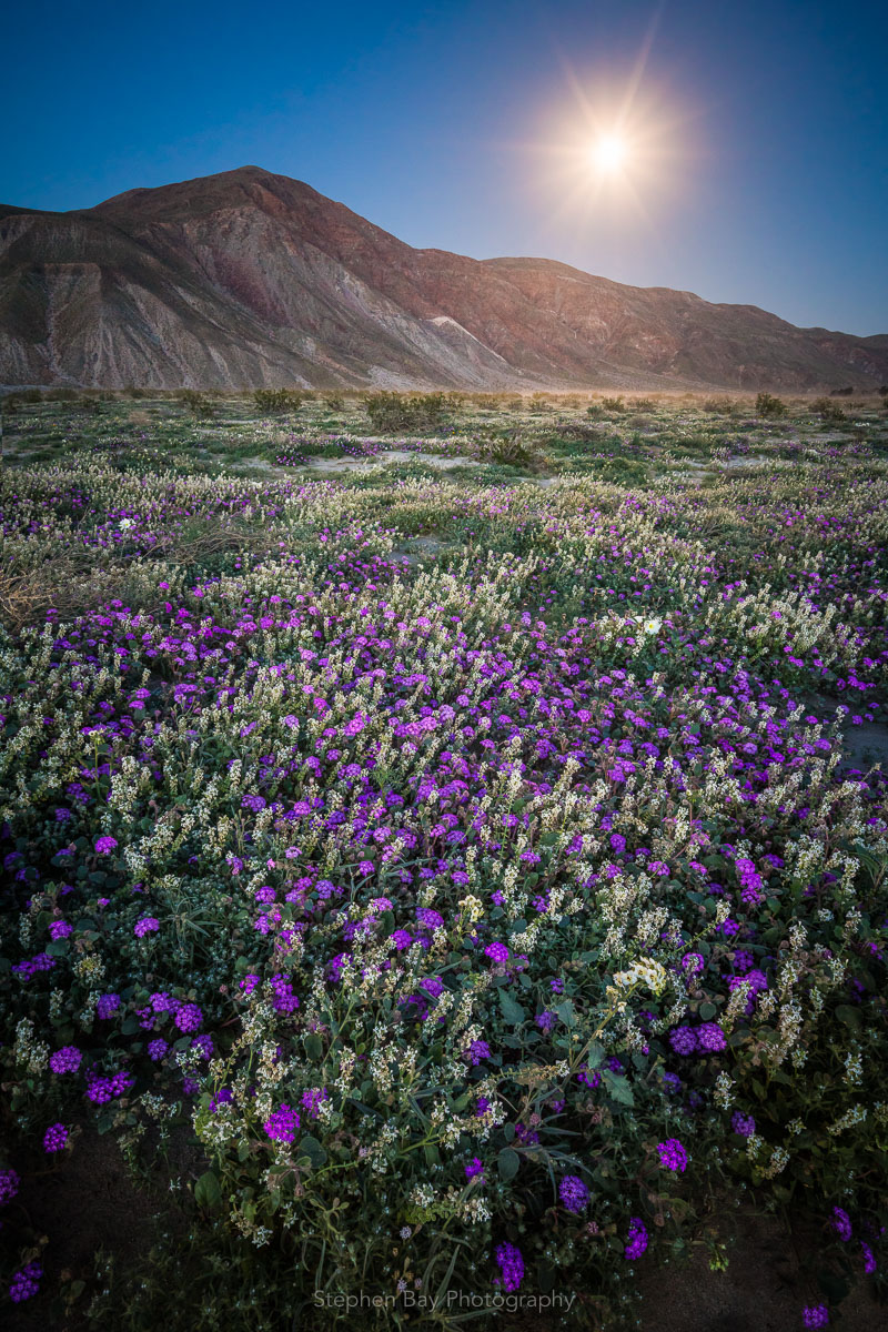 Moonlit field of flowers in Anza-Borrego.