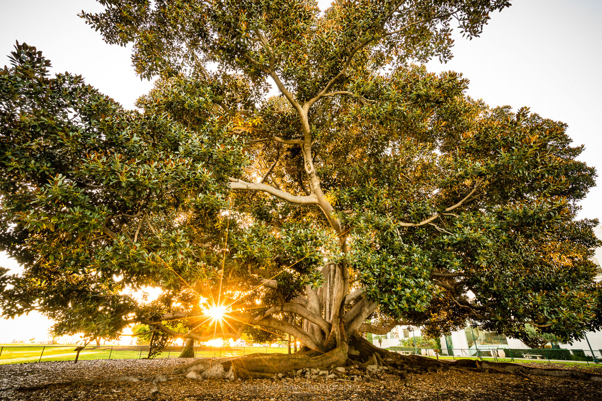 The sun rising behind the Moreton Bay Fig tree in Balboa Park. The sun is creating a sunstar and flare.